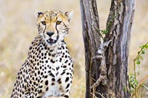 Фотография Большие кошки Гепарды Смотрит Морда Животные