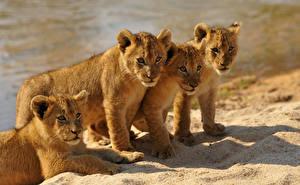 Картинка Большие кошки Львы Детеныши