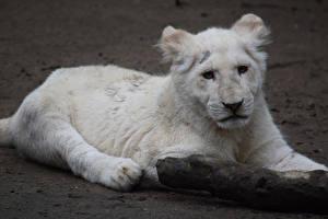 Обои Большие кошки Львы Детеныши Белый