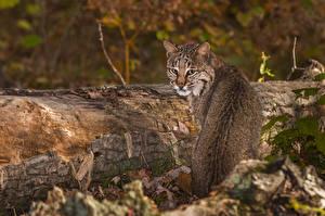 Картинки Большие кошки Рыси Ствол дерева
