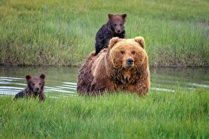 Картинка Медведи Гризли Детеныши Траве Животные