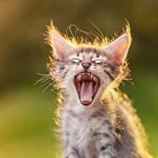 Фото Кошки Клыки Зевает Язык (анатомия) Смешной Котята животное
