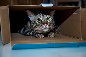 Фотография Коты Смотрит Испуг Миленькие Коробка Животные