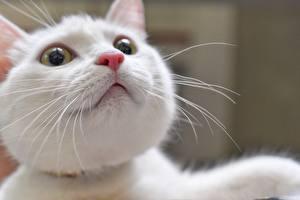 Фото Коты Смотрят Морда Белый Усы Вибриссы Нос Животные