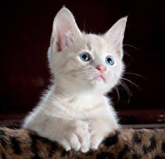 Фотография Коты Котята Белый Взгляд Животные