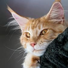 Фотография Кошки Мейн-кун Взгляд Голова Морда Рыжий Животные