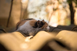Обои Кошки Спит Крыша Животные картинки