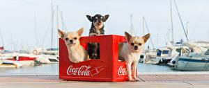 Картинки Кока-кола Чихуахуа Втроем