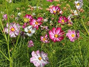 Картинка Космея Крупным планом цветок