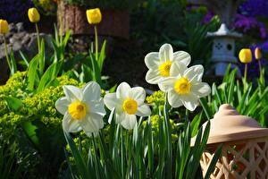 Фотография Нарциссы Цветы