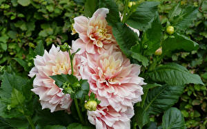 Обои Георгины Вблизи Розовые цветок