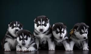 Фотографии Собаки Щенок Хаски 5