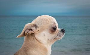 Фото Собаки Чихуахуа Голова Смотрит Животные