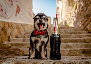 Фото Собаки Кока-кола Чихуахуа Язык (анатомия) Зевает Забавные Бутылка Лестница Животные