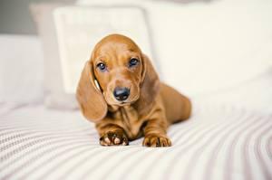 Картинки Собаки Такса Миленькие Животные