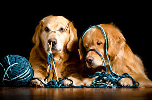 Картинка Собаки Голден Черный фон 2 Ретривер Очки Животные