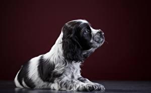 Фотография Собаки Спаниель Животные