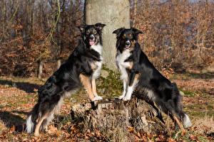 Фотография Собака Пень 2 Бордер-колли Смотрит Животные