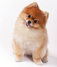Фотографии Собаки Белом фоне Шпиц Смотрят животное
