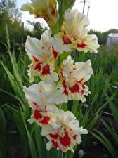 Фотографии Гладиолусы Крупным планом Цветы