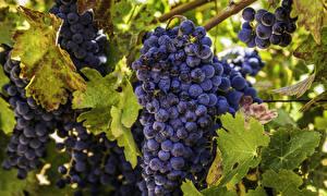 Обои Виноград Крупным планом Листья Пища
