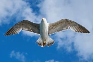 Картинка Чайка Вблизи Птицы Летящий Крылья Животные