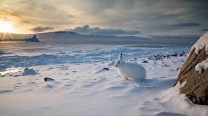 Фотографии Зайцы Канада Снег Arctic hare Природа