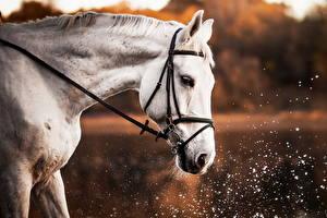 Обои Лошади Белый Животные картинки