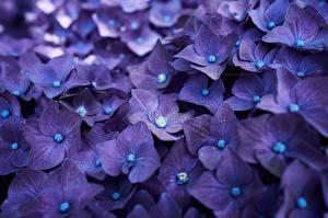 Фотография Гортензия Макро Крупным планом Фиолетовый Цветы