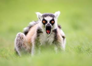 Картинки Лемуры Смотрит Удивление Ring-tailed lemur Животные