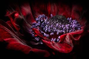 Картинка Макросъёмка Вблизи Маки Цветы