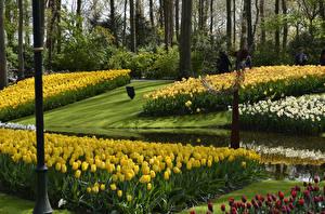 Фотографии Нидерланды Парки Тюльпаны Нарциссы Keukenhof Природа