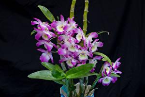 Фотография Орхидеи Крупным планом Черный фон