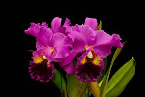 Фотографии Орхидеи Вблизи Черный фон Розовый