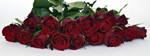 Картинки Розы Вблизи Белый фон Бордовый Цветы