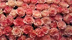 Картинка Розы Много Розовый Цветы