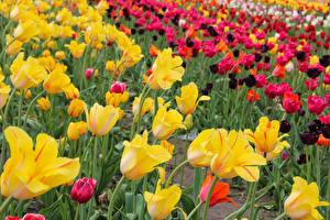 Картинки Тюльпаны Много Желтый