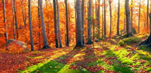 Картинки Украина Леса Осенние Закарпатье Деревья Листья Мох Природа