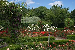 Картинки Великобритания Сады Розы Кусты Hever Castle Gardens Природа