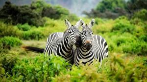 Картинки Зебры 2 Животные