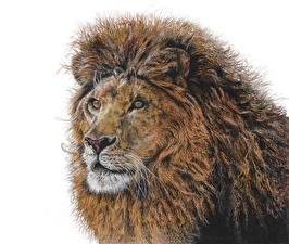 Картинки Большие кошки Львы Рисованные Белый фон Голова Взгляд