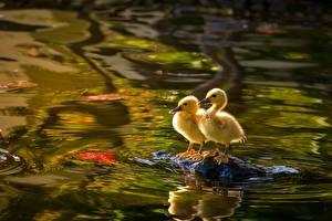 Фотографии Птицы Птенцы Утки Вода Двое