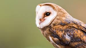 Фотографии Птицы Совы barn owl Животные
