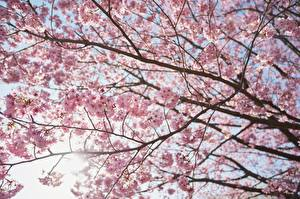 Обои Ветвь Сакура Природа