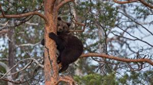 Обои Медведи Гризли Детеныши Ствол дерева Peter Grischott