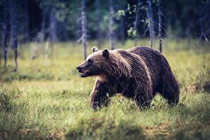 Фотографии Медведи Бурые Медведи Трава Животные