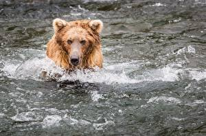 Картинки Медведи Гризли Вода Голова
