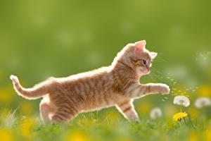Фото Коты Одуванчики Котята Рыжий Животные