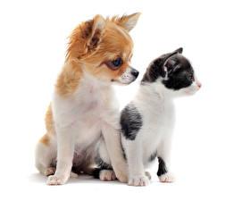 Фото Коты Собаки Белый фон 2 Щенок Чихуахуа Котята