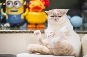 Фотографии Кошки Недовольство Exotic Shorthair Животные
